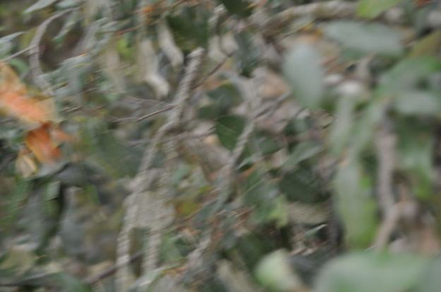 Jersey Tiger Moth at Il Colombaio di Cencio, Gaiole, Chianti, Tuscany, Italy4