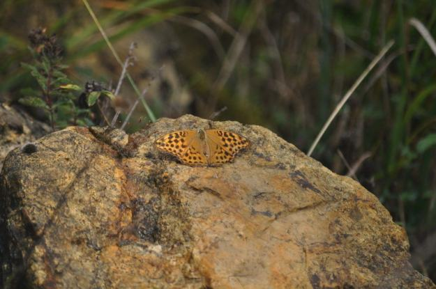 Image of a Niobe Fritillary Butterfly at Il Colombaio di Cencio, Gaiole, Chianti, Tuscany, Italy