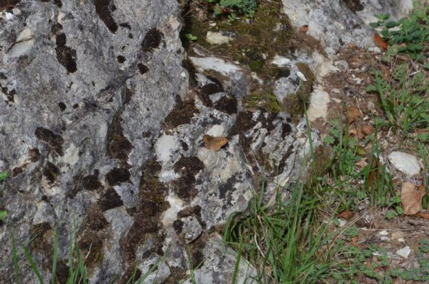 Image of a Northern Wall Brown Butterfly at Il Colombaio di Cencio, Gaiole, Chianti, Tuscany, Italy