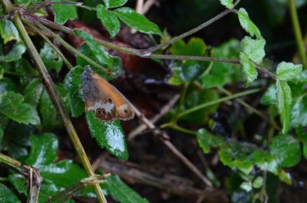 Image of a Pearly Heath Butterfly at Il Colombaio di Cencio, Gaiole, Chianti, Tuscany, Italy