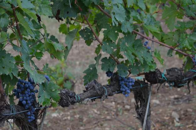 Image of purple grapes in the vineyard at Il Colombaio di Cencio, Gaiole, Chianti, Tuscany, Italy