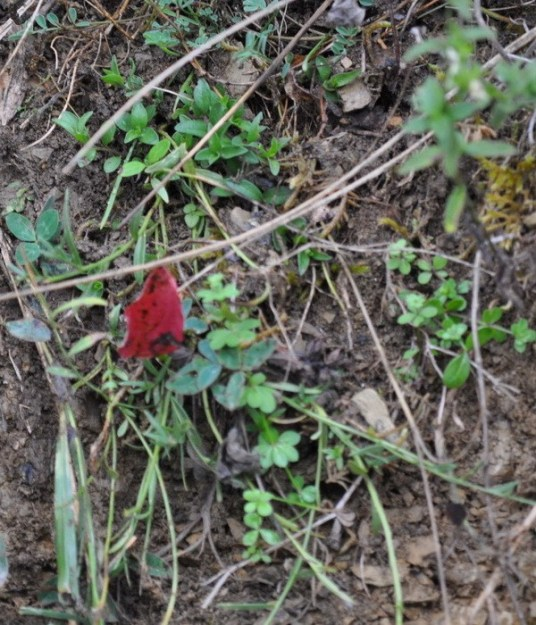 Image of an Unknown Red butterfly or moth at Il Colombaio di Cencio, Gaiole, Chianti, Tuscany