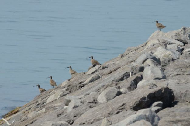 5 whimbrels along the lake ontario waterfront trail, ontario