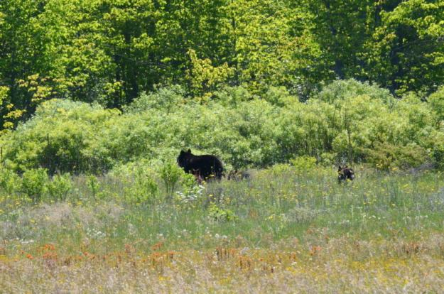 black bear with cubs leave the meadow at carden alvar, cameron ranch, ontario