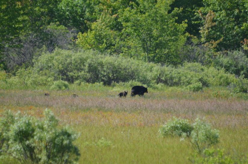 black bear with three cubs at carden alvar, cameron ranch, ontario, pic 3