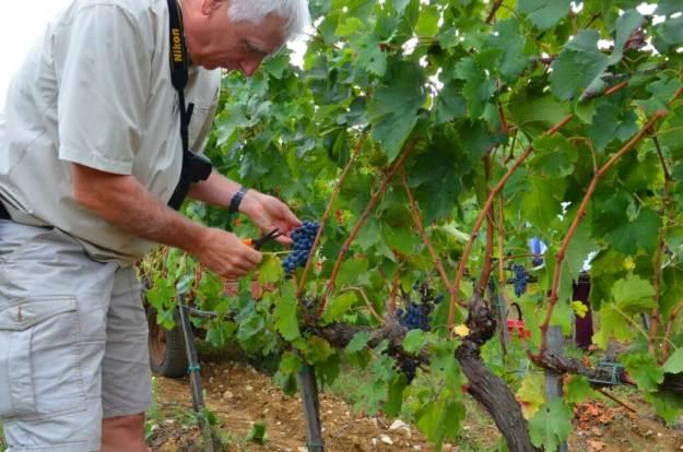bob cuts grapes off the vine at il colombaio di cencio vineyard, gaiole in chianti, itay