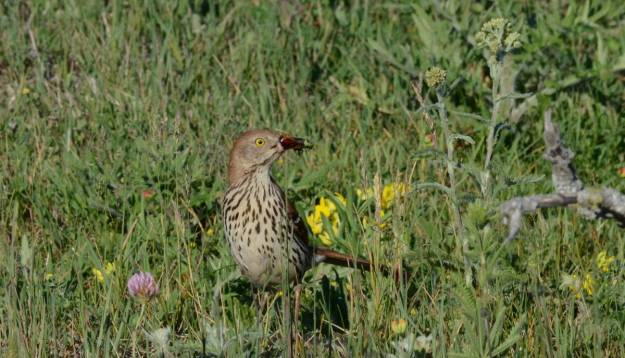 brown thrasher on ground with bugs at carden alvar, cameron ranch, kawartha lakes, ontario