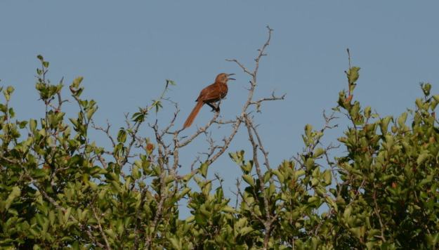 brown thrasher sings out in a tree at the carden alvar, cameron ranch, ontario