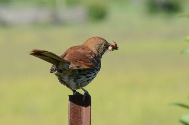 brown thrasher sitting on fence post with bugs at carden alvar, cameron ranch, ontario