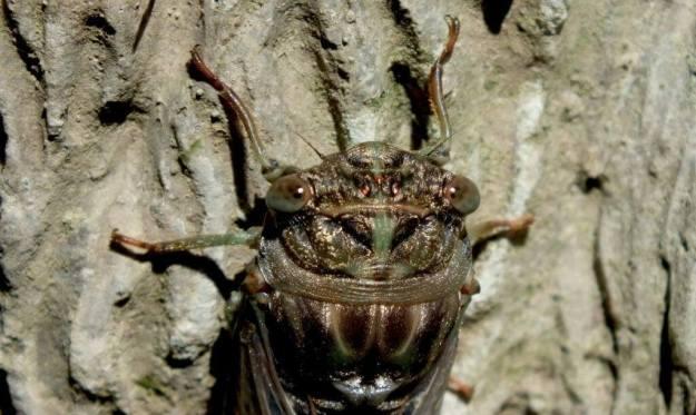 closeup of the head and eyes of a cicada in a garden in toronto, ontario