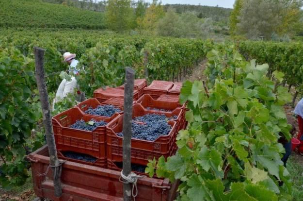 grape wagon at il colombaio di cencio vineyard, gaiole in chianti, itay