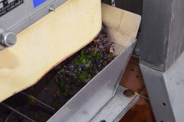 grapes crushed by grape crusher at il colombaio di cencio vineyard, gaiole in chianti, itay