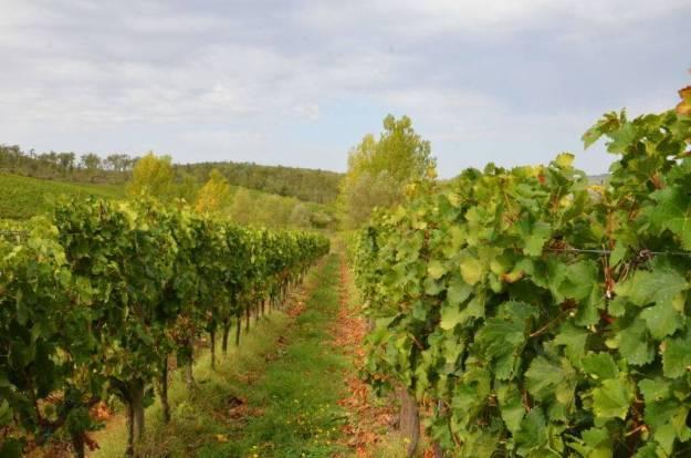 grapes growing in the field at ll colombaio di cencio, gaiole in chianti, itay