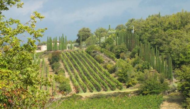 italian cypress evergreen trees at ll colombaio di cencio Vineyard, gaiole in chianti, itay