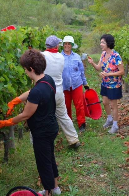 jean assists in cutting grapes from a vine at il colombaio di cencio vineyard, gaiole in chianti, itay