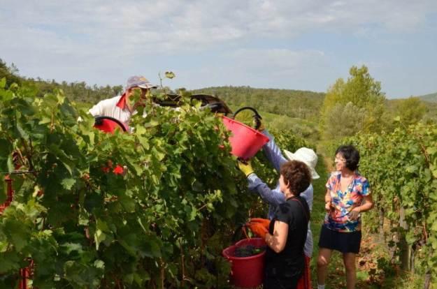 ladies hand grapes to grape wagon at il colombaio di cencio vineyard, gaiole in chianti, itay
