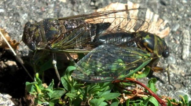 two cicadas mating among plants in a garden in toronto, ontario