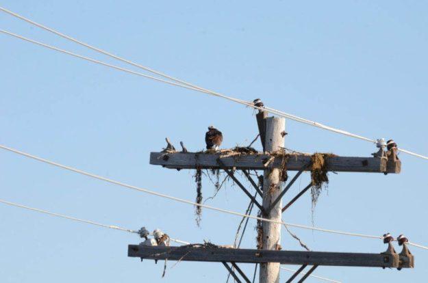 osprey building nest at carden alvar, ontario