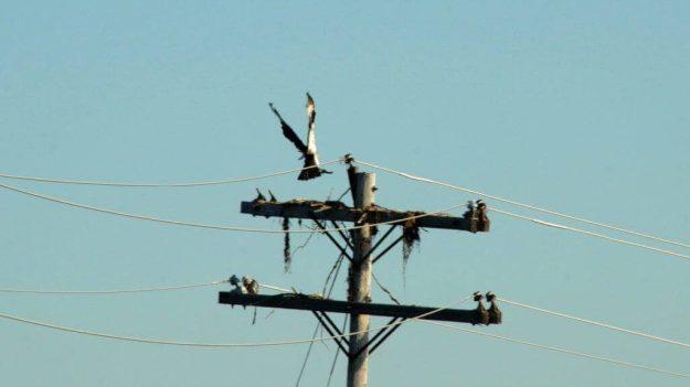 osprey lands with tree limb on a hydro pole at carden alvar, ontario