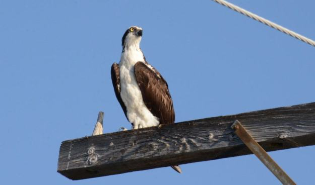 osprey sitting on a hydro pole at carden alvar, ontario