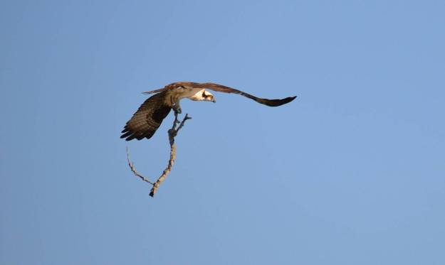 osprey with tree branch, carden alvar, ontario, pic 1
