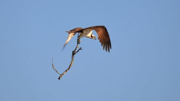 osprey with tree branch, carden alvar, ontario, pic 2