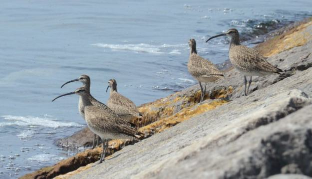 whimbrels along lake ontario, scarborough, ontario 2