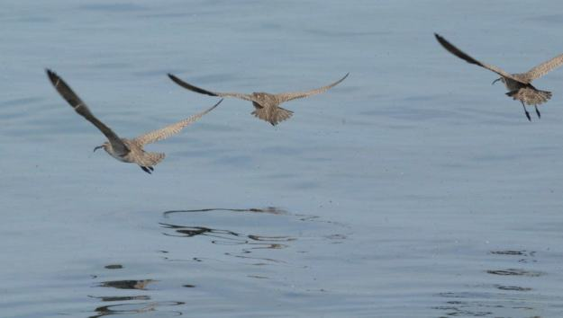 whimbrels along lake ontario, scarborough, ontario 3