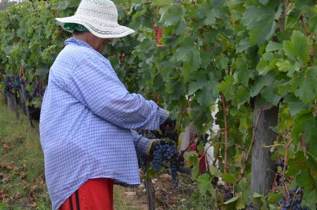woman cutting grapes from a vine at il colombaio di cencio vineyard, gaiole in chianti, itay