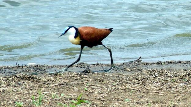 african-jacana-along-the-shoreline-at-sunset-dam-near-lower-sabie-rest-camp-in-kruger-national-park-south-africa-3