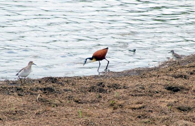 african-jacana-between-sandpipers-along-the-shoreline-at-sunset-dam-near-lower-sabie-rest-camp-in-kruger-national-park-south-africa