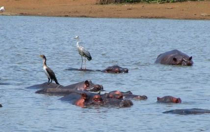 An image of Hippos at Sunset Dam in Kruger National Park, South Africa.