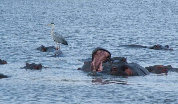 grey-heron-standing-on-a-hippopotamus-at-sunset-dam-near-lower-sabie-rest-camp-in-kruger-national-park-south-africa-2
