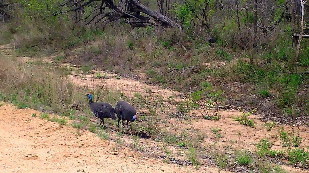 helmeted-guineafowl-along-dirt-roadway-in-kruger-national-park-south-africa
