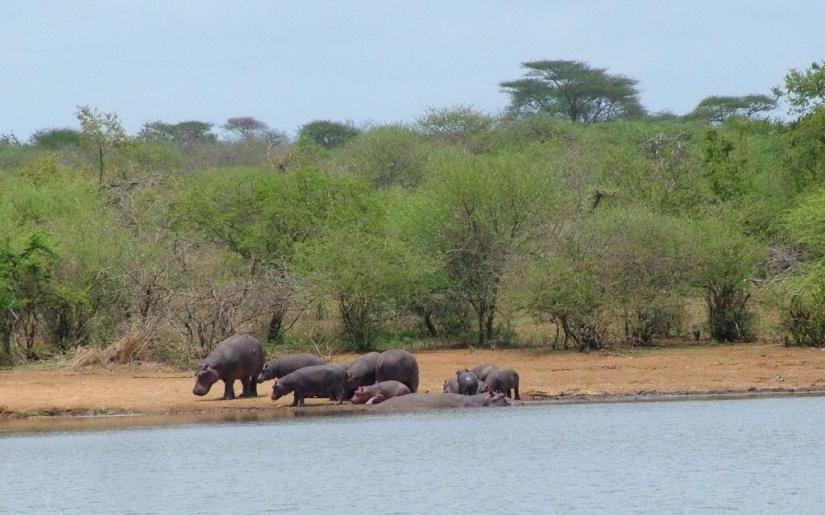 hippopotamus at sunset dam, lower sabie rest camp, kruger national park, south africa
