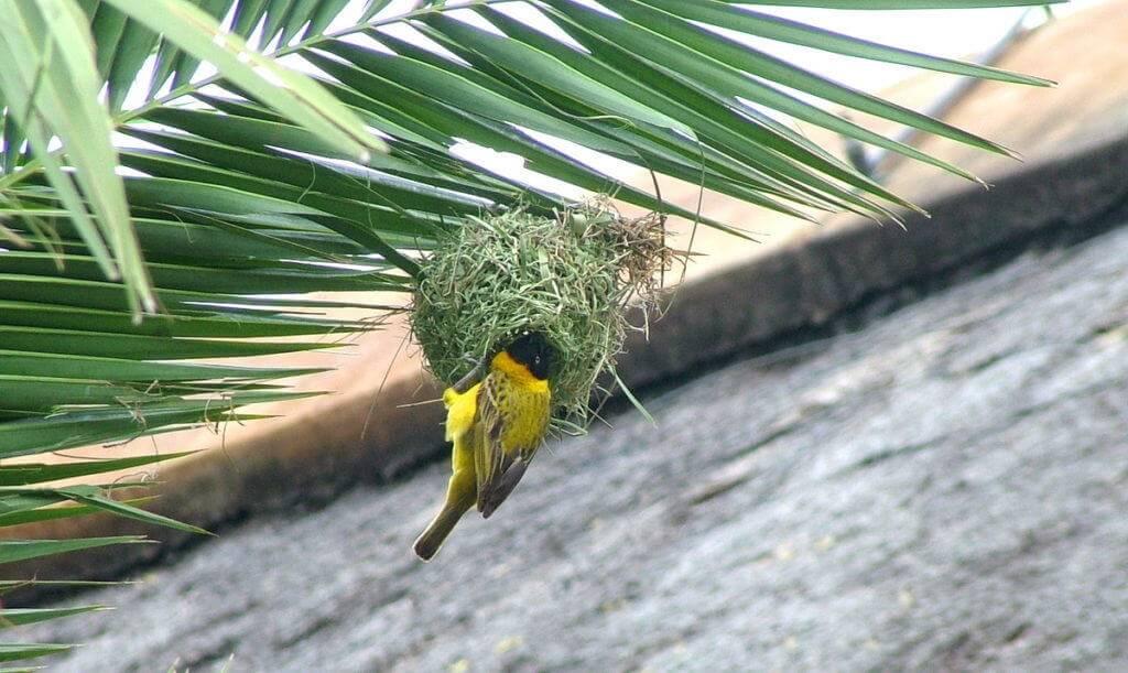 Image of a lesser-masked weaver building a nest at Skukuza Rest Camp in Kruger National Park