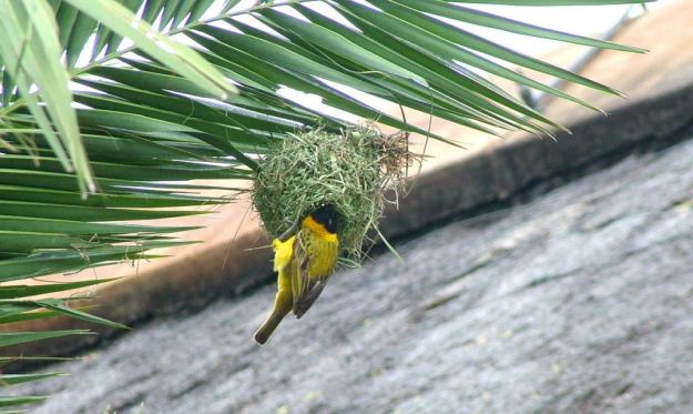 Image of a lesser-masked weaver building a nest at Skukuza Rest Camp in Kruger National Park