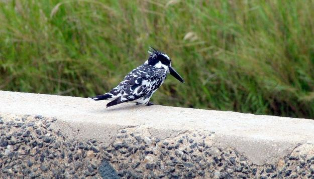 pied-kingbird-sitting-on-a-bridge-in-kruger-national-park-south-africa-2