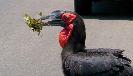 An image of a Southern Ground Hornbill in Kruger National Park, South Africa. Photography by Frame To Frame - Bob and Jean.