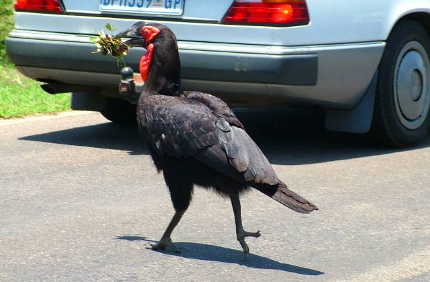 An image of Southern Ground Hornbill crossing a roadway will carrying leaves in its beak in Kruger National Park. South Africa. Photography by Frame To Frame - Bob and Jean.