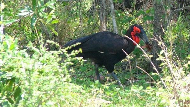 Photo of a Southern Ground Hornbill holding leaves on the ground at Kruger National Park.