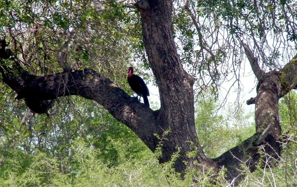 Photo of a Southern Ground Hornbill sitting in a tree in Kruger National Park.