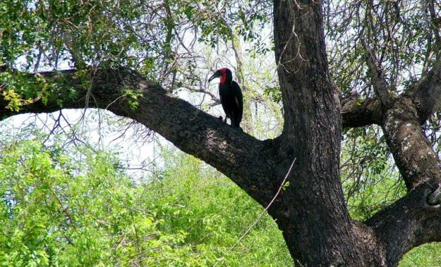 Photo of a Southern Ground Hornbill sitting on a tree limb in Kruger National Park.