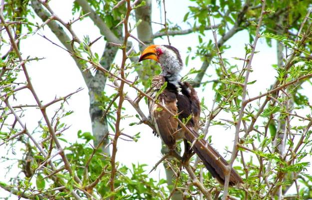 Image of a Yellowbilled Hornbill in Kruger National Park, South Africa.