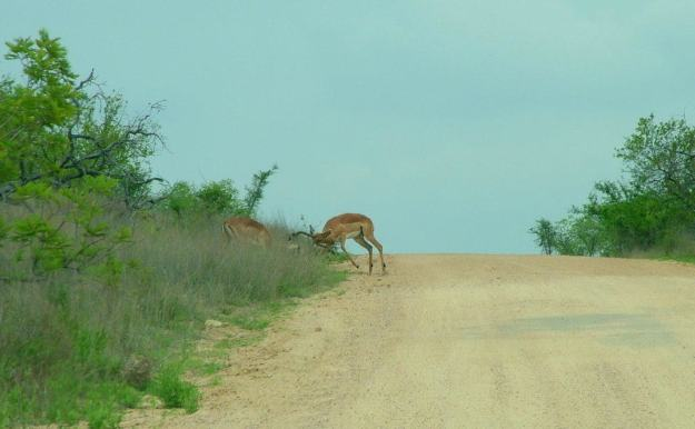 An image of two Impala fighting along a dirt road in Kruger National Park, South Africa. Photography by Frame To Frame - Bob and Jean.
