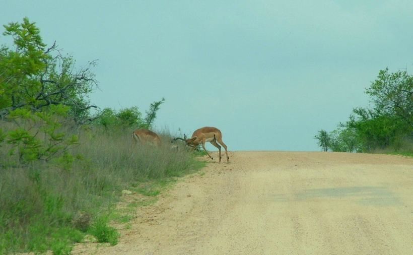 Photo of Two Impala fighting along dirt road in Kruger National Park. Photography by Frame To Frame - Bob and Jean.