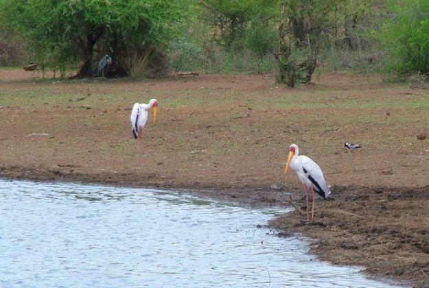 yellow-billed-storks-and-grey-heron-at-sunset-dam-near-lower-sabie-rest-camp-in-kruger-national-park-south-africa