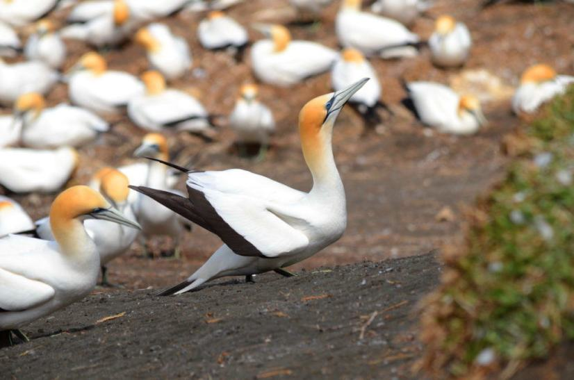 australasian-gannet-at-the-muriwai-gannet-colony-waitakere-new-zealand-2