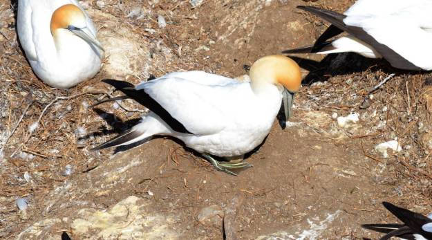 australasian-gannet-with-egg-at-the-muriwai-gannet-colony-waitakere-new-zealand-3