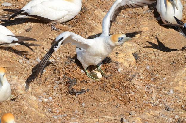 australasian-gannet-with-egg-at-the-muriwai-gannet-colony-waitakere-new-zealand